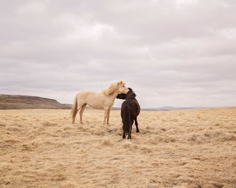 Icelanadic Horses in Color Photograph, Physical Print, Horse Wall Art