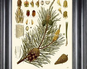 BOTANICAL PRINT Kohler 8x10 Botanical Art Print 35 Beautiful Pinecone Pine Cone Tree Green Branch Seeds Leaf  Nature Forest to Frame