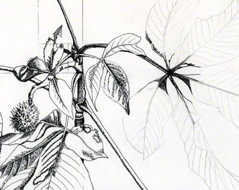 Morel mushroom graphite drawing botanical study digital