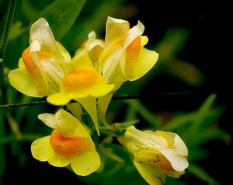 Yellow Wildflower Wall Art,Yellow Spring Wildflower Picture,Yellow Spring Flower,Butter and Eggs Photo,Yellow Orange Flower,Gardener's Gift