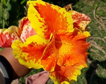 2 Bulb Canna Lily Bulbs/Roots/Rhizomes/Tubers/Plants color on the pic