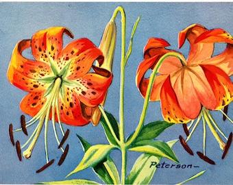 Turk's Cap Lily Vintage Botanical Postcard signed Peterson 1976