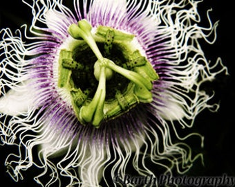 Artistic Photograph--Passion Flower--Gifts for men women, for her, him, macro, color, minimalist, nature, decor, wall art, prints