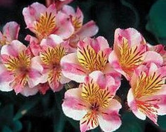 Fun To Grow Pink Peruvian Lily Seeds, 20 Seeds In A Pack