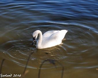 Trumpeter Swan, Nature Photography, Animal Photography, Bird Photography, Arkansas, Wall Art, Print, Water, Bird, Swan