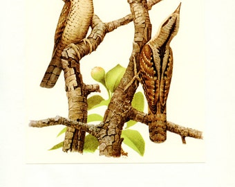 Wryneck bird wall art print - 1959 Vintage bird print - Vintage bird art - Jynx bird print