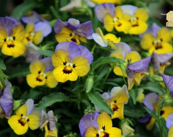 Garden Photography, Large Cluster of Lavender Purple and Lemon Yellow Duotone Violets, Bringing Nature inside Natural Interior Decorating
