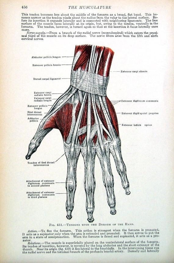 Menschliche Anatomie Sehnen der Hand 1933 menschliche