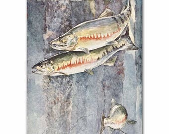 "Fly Fishing Art (1930s Fly Fishing Wall Decor, Vintage Fish Print) --- ""Chum Salmon"" No. 290"
