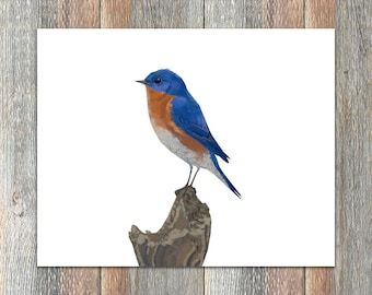 Eastern Bluebird Bird Print