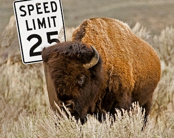 Bison Photograph, posing with a 25 MPH speed limit sign,  Wildlife Photography