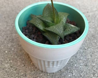 White Haworthia Tessellata Succulent - Great for wedding favor, birthday, gift for her