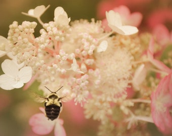 Nature Photography,Bumble Bee,honey bee,bee in flight,white pink flower,hydrangea,bumble bee on flower,delicate,dainty,girly,nursery decor