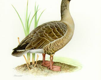 Vintage lithograph of the greylag goose from 1956
