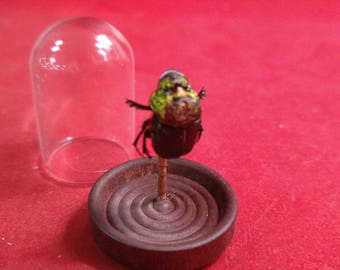 1 Taxidermy Entomology Preserved Rainbow Dung Beetle Specimen Glass Dome Display