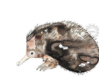 Echidna Australian Fauna watercolour illustration