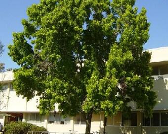 100 American Sweetgum Tree Seeds, Liquidambar Styraciflua