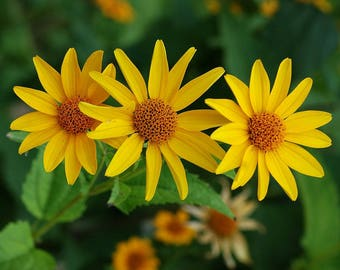 Early Sunflower seeds. Heliopsis helianthoides. Chemical free. Combined shipping & handling.