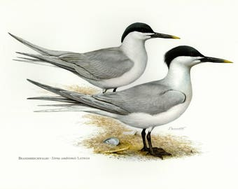 Vintage lithograph of the Sandwich tern from 1956