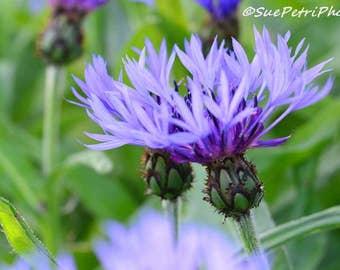 Flower Photography, Bachelors Button, Purple, Lilac, Lavender, Romantic Decor, Bedroom Decor, Shabby Chic, Garden Art, Home Decor, Wall Art