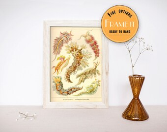 "Vintage illustration of Sea Slugs, Ernst Haeckel  - fine art print, sea creatures,sea life, home decor 8""x10"" ; 11""x14"", FREE SHIPPING - 314"