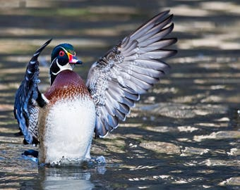 Wood Duck Photo Print, Large Art Print Nature Photography, Affordable Wall Art