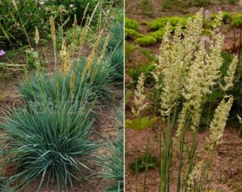 GR) COOLIO GRASS~Seed!!~~~A Rock Garden 'Must Have'!!