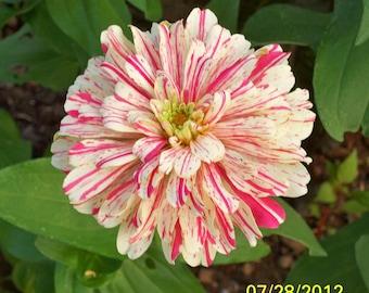 Zinnia Seeds Bon Bon with Stripes, Unique Flower for Your Garden, 20 Seeds