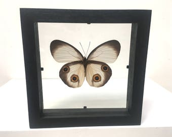 Taenaris Artemis ( Catops) Butterfly/Insect/Taxidermy/Lepidoptera