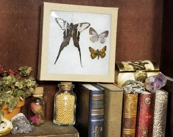 Miniature Real Butterfly Display box