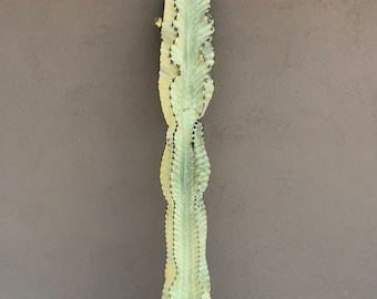 5 Ft. 6 Inch Veriegated Euphorbia