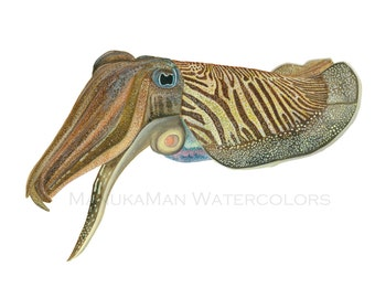 Cuttlefish watercolor print by Damon Crook (fitted for 11 x 14 inch frame)
