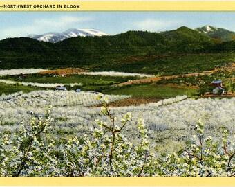 Northwest Orchard in Bloom Vintage Botanical Vintage Postcard (unused)