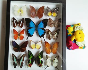 3D Set Rare Real 14 Mounted Blue Butterfly Specimen Swallowtail Papillo Ulysses Butterflies Art in Framed Bugs Taxidermy Wall Display Glass