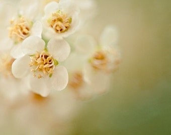 botanical photography, cherry blossom, spring, bloom, floral, nature photography, pastel, white, lime green, yellow / lemon lime / 8x10