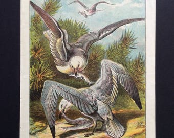 Antique 1870 BIRD Lithograph Avian GULL Print over 145 years old