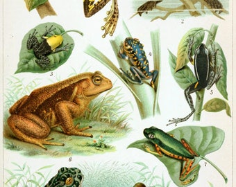 Vintage Frog Chart  ~ Frogs Poster - Amphibian Poster - Natural Science ~ Cabin Decor - Frog Art - Frog Lover Gift ~ Frogs Illustration