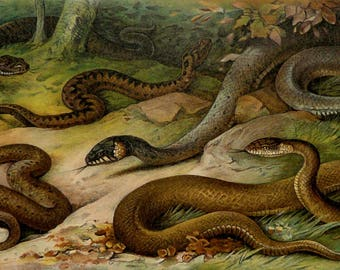 1897 Antique lithograph of SNAKES, different species. Venomous snakes. Vipers. Reptiles. 121 years old print
