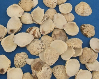 Beach Clams  Craft Shells