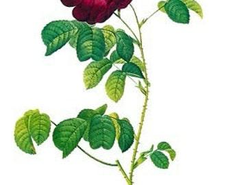 Redoute Botanical Rose Print  54