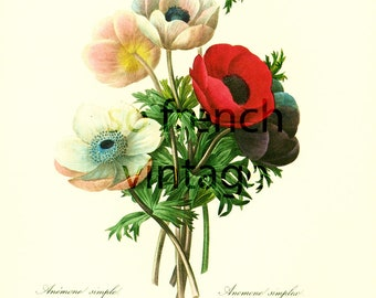 Anemone Large Size Redoute Botanical Print Flower For Framing Wall Art  home decor