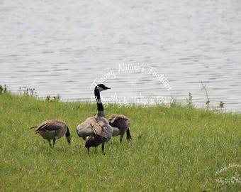 Canadian Geese  at the Lake