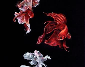 Siamese Fighting Fish Trio Pencil Drawing
