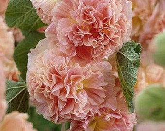 Salmon Double Hollyhock Flower Seeds / Alcea / Perennial  30+