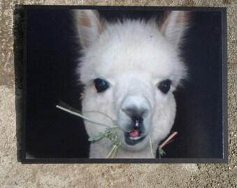 White Baby Alpaca Cria Face Close Up Photograph Greeting Card