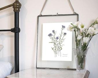 Knapweed, Botanical Wildflower Watercolour, Art Print