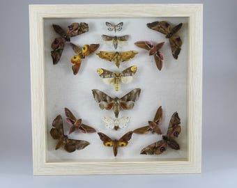 Real Moths Framed Entomology Art Piece