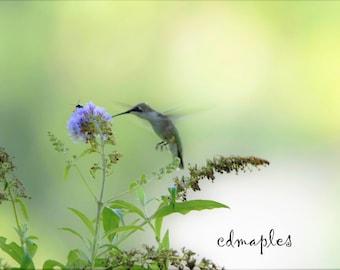 Hummingbird Photo, Wildlife Print, Wildlife Photography, Wild Bird Photo, Hummingbird