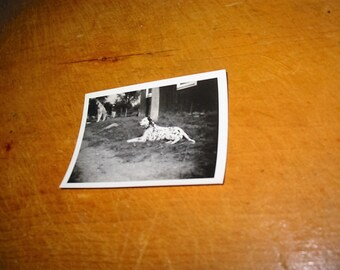 Vintage Dalmation Dog Portrait Snapshot Old Black and White Snapshot Dog Photograph Firehouse Dog