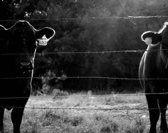 B&W / Black and White / Cattle on Ranch / Instant Download / Cowboy Prints